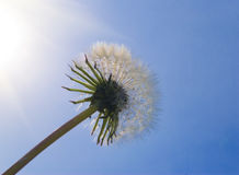 A Dandelion Royalty Free Stock Photo