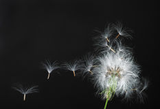 Free Dandelion Royalty Free Stock Image - 9447256