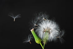 Free Dandelion Royalty Free Stock Images - 9447269