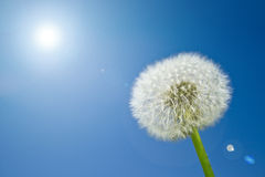 Dandelion. Nice dandelion in the garden at springtime with sky in the background Royalty Free Stock Images