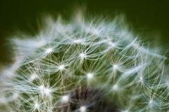 Dandelion Stock Images