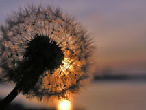 Dandelion. Beautiful dandelion at golden sunset royalty free stock photography