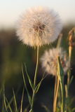 Dandelion. There is a wield dandelion Royalty Free Stock Images