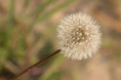 Free Dandelion Stock Image - 9938131