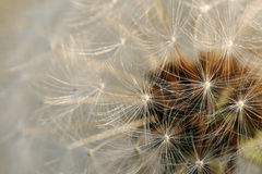 Dandelion abstract Stock Photo