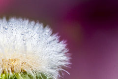 Dandelion abstract background. Shallow depth of field. Royalty Free Stock Photos
