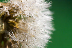 Dandelion abstract background. Shallow depth of field. Royalty Free Stock Image