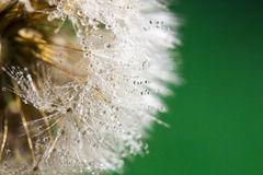Dandelion abstract background. Shallow depth of field. Stock Photo