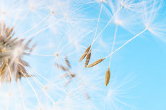 Dandelion abstract background. White blowball over blue sky. Shallow depth of field royalty free stock photo
