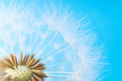 Dandelion abstract background. White blowball over blue sky Stock Images