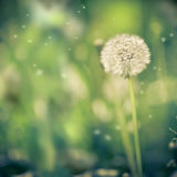Dandelion with abstract blurred background Royalty Free Stock Photo