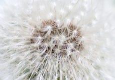 Dandelion abstract closeup Stock Photos