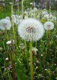 Dandelion abstract closeup, tranquil art scene Stock Image
