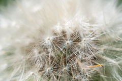 Dandelion abstract closeup Stock Images