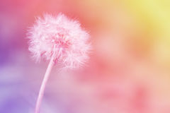 Dandelion on the abstract colorful blur. Dandelion on the abstract colorful blur background royalty free stock photography