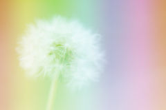 Dandelion on the abstract colorful blur. Dandelion on the abstract colorful blur background royalty free stock image