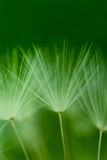 Dandelion. Abstract dandelion flower background, closeup with soft focus Royalty Free Stock Photos