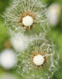 Dandelion. Abstract macro of dandelion spring flower Royalty Free Stock Photography