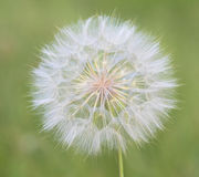 Dandelion. Abstract macro of dandelion spring flower Stock Photos