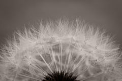 Dandelion abstract monochrome background Stock Image