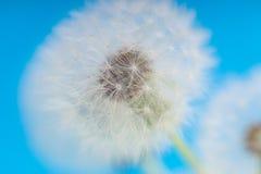 Dandelion abstrakta zamazany tło Biały blowball nad niebieskim niebem Fotografia Stock