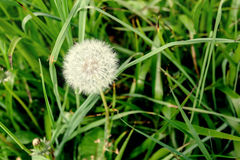 Dandelion across a fresh green background Stock Photography