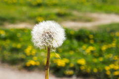 Dandelion against the background of green grass in the park Stock Image