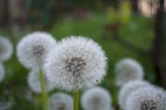 Dandelion against a background of vegetation.  Stock Photo