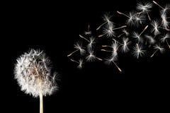 Dandelion. A dandelion against a black background stock images