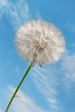 Dandelion against blue sky Royalty Free Stock Image