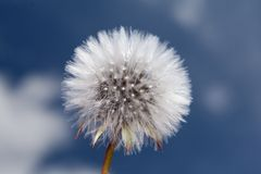 Dandelion against a blue sky. Dandelion against a blue and cloudysky stock photography
