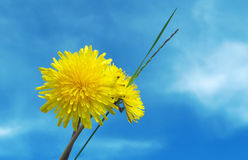 Dandelion. Against the blue sky Stock Image