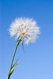 Dandelion against blue sky Stock Photography