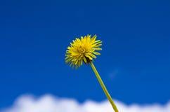 Dandelion. Flowering dandelion set on a background of blue sky Stock Image
