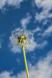 Dandelion against the blue sky Royalty Free Stock Photo
