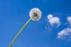 Dandelion. Set on a background of blue cloudy sky Royalty Free Stock Images