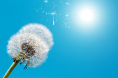 Dandelion against blue sky Stock Photos
