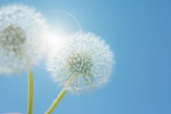 Dandelion against blue sky Royalty Free Stock Images