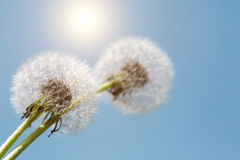 Dandelion against blue sky Stock Image