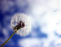 Dandelion against the blue sky, summer season after flowering stock images
