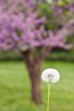 Dandelion against blurry spring blossom background Royalty Free Stock Image