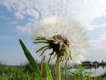 Dandelion against the cloudy sky Stock Photo