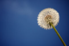 Dandelion Against Deep Blue Sky Royalty Free Stock Photography