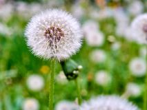 Dandelion against grass background royalty free stock photo