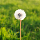 Dandelion against a Green Field Stock Images