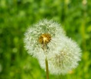 Dandelion against greens. See my other works in portfolio Royalty Free Stock Photos