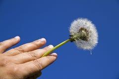 Dandelion against the sky Stock Photography