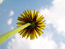 Dandelion against sky Royalty Free Stock Image