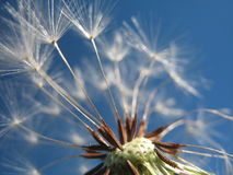 Dandelion Against The Sky. A dandelion close up against the sky Stock Images