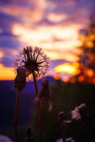 Dandelion against sunset sky. Shallow focus royalty free stock photography